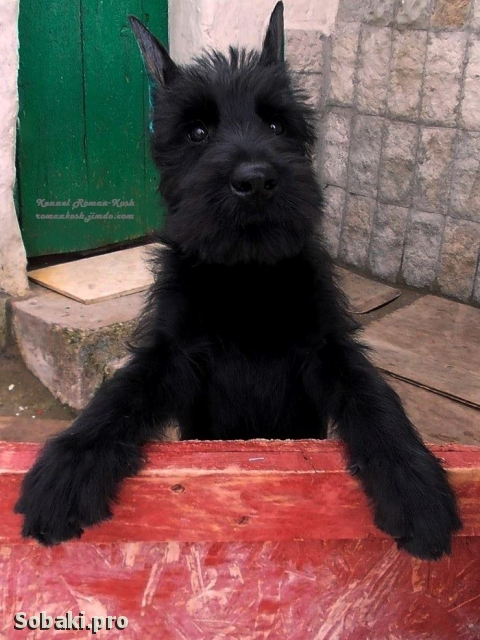 GIANT SCHNAUZER => PHOTOS  