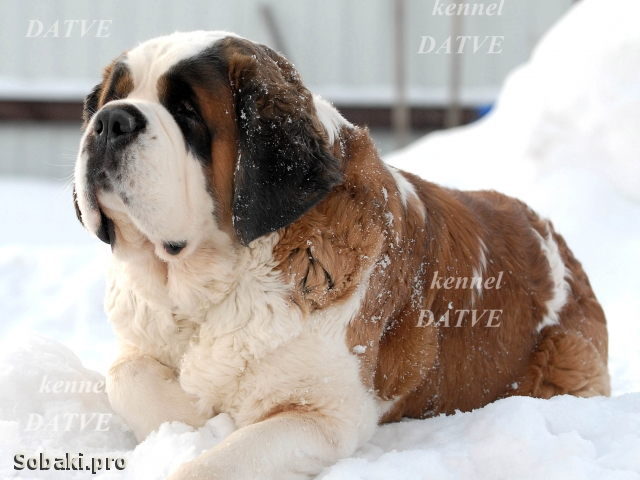 SAINT BERNARD DOG => PHOTOS  
