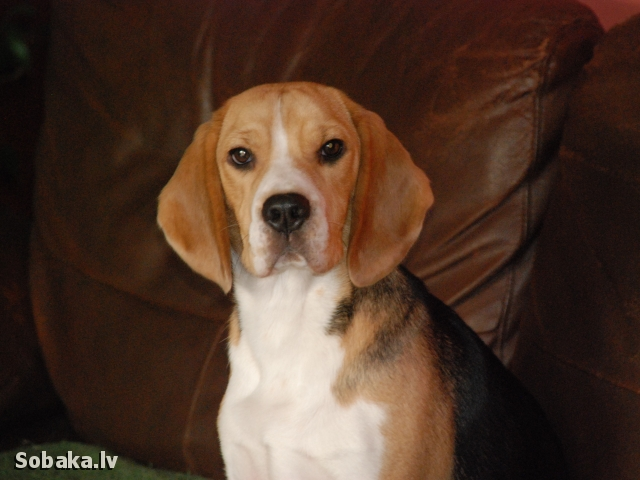 BEAGLE => THE DOG  