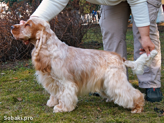 ENGLISH COCKER SPANIEL => THE DOG  