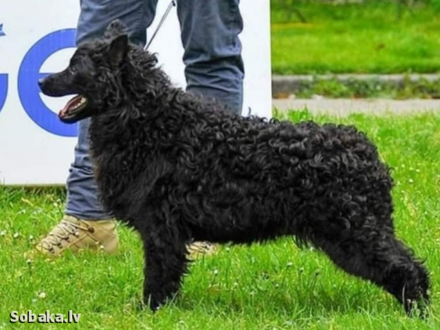 Croatian Sheepdog 112927.jpg