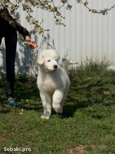 MAREMMA AND ABRUZZES SHEEPDOG => THE DOG  