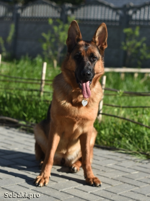 German Shepherd Dog 113238.jpg