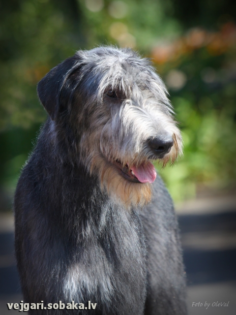 Irish Wolfhound 113420.jpg