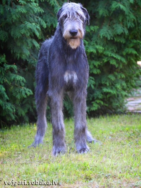 Irish Wolfhound 113421.jpg