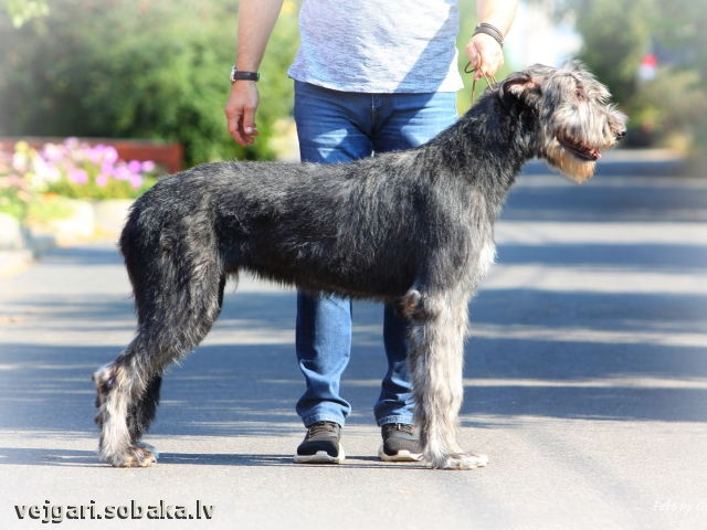 Irish Wolfhound 113422.jpg