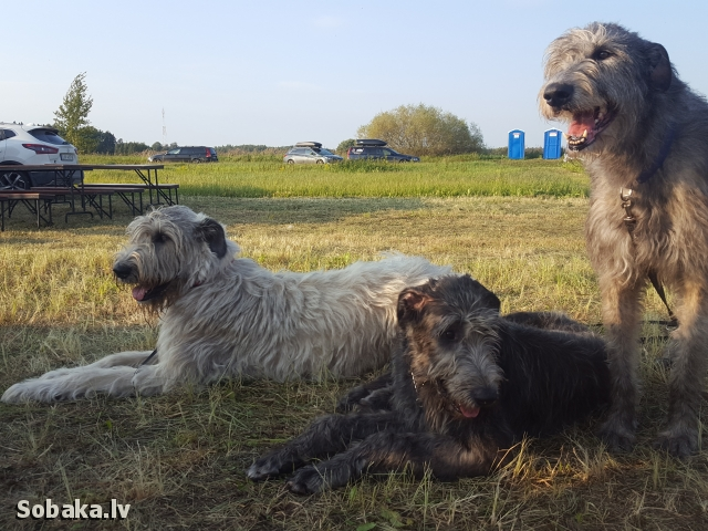 Irish Wolfhound 113424.jpg