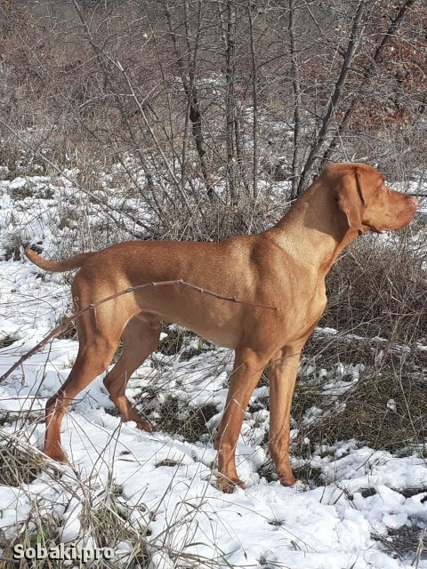 Hungarian Short-haired Pointing Dog 113614.jpg
