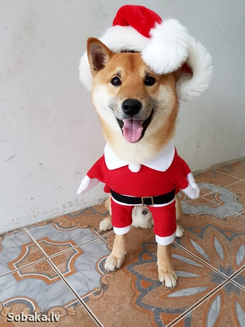 SHIBA => THE DOG  