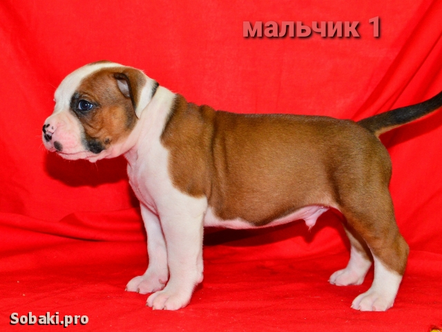 AMERICAN BULLDOG => PHOTOS  