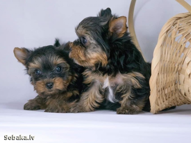 YORKSHIRE TERRIER => THE DOG  
