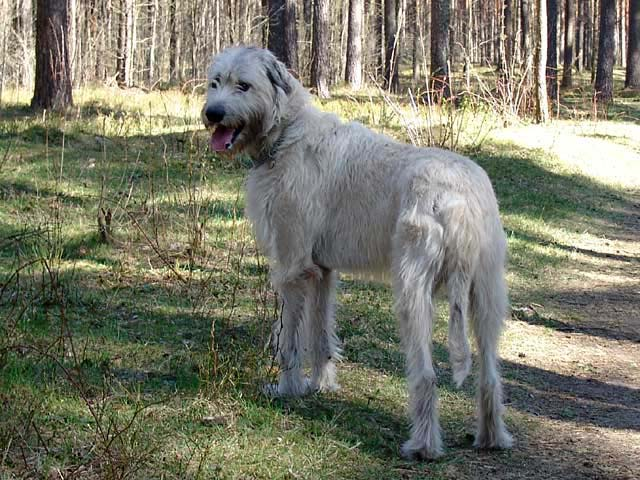 Irish Wolfhound (Irish Wolfhound)