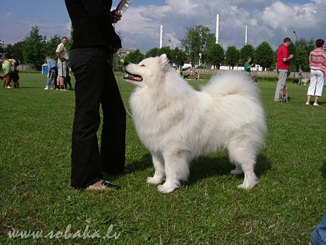 Samoyed 