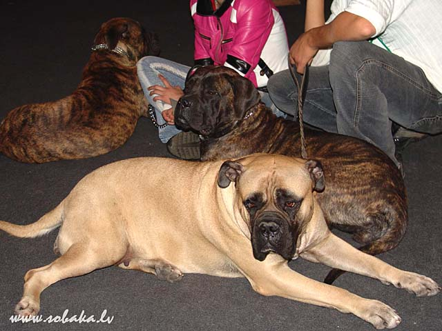 Bullmastiff 