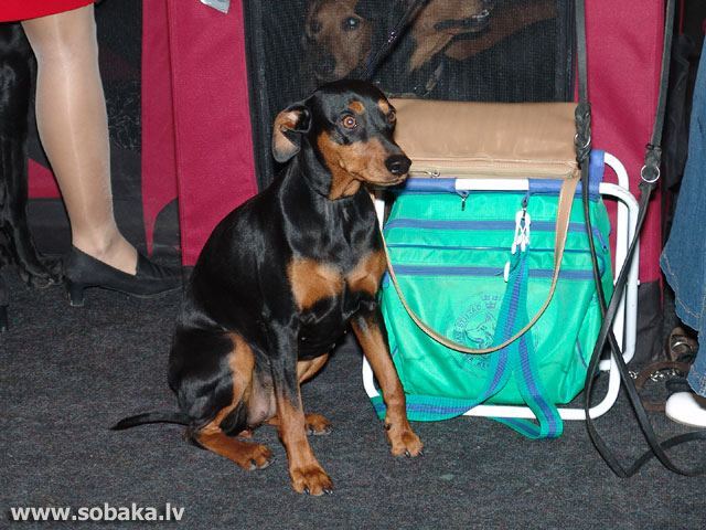 German Pinscher (German Pinscher)