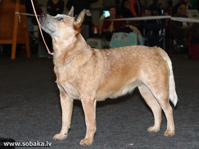 Australian Cattle Dog (Australian Cattle Dog)
