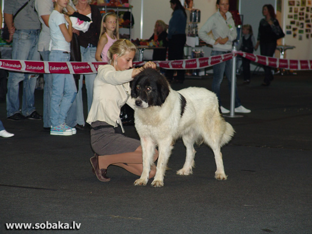 Bulgarian Shepherd Dog